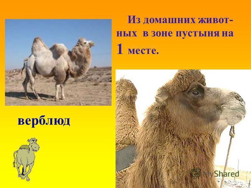 верблюд Из домашних животных в зоне пустыня на 1 месте.