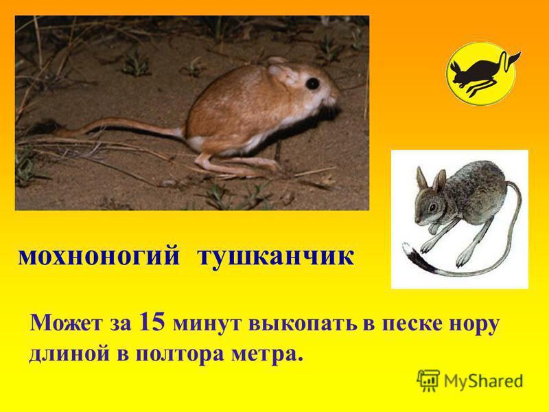 мохноногий тушканчик Может за 15 минут выкопать в песке нору длиной в полтора метра.