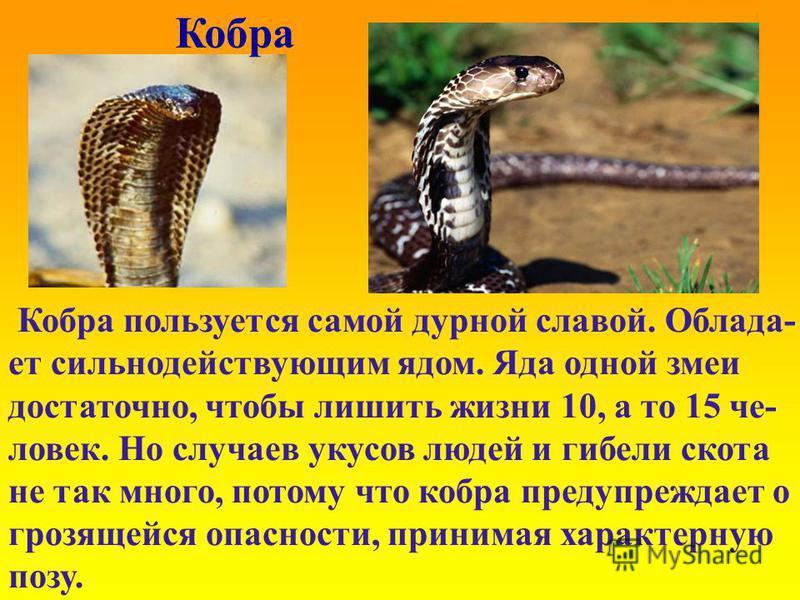 Кобра Кобра пользуется самой дурной славой. Облада- ет сильнодействующим ядом. Яда одной змеи достаточно, чтобы лишить жизни 10, а то 15 человек. Но случаев укусов людей и гибели скота не так много, потому что кобра предупреждает о грозящейся опаснос