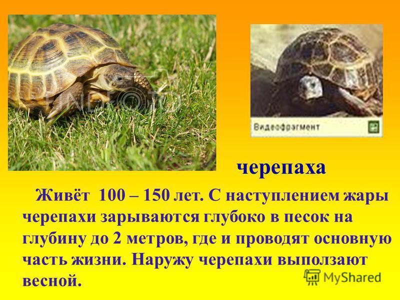 черепаха Живёт 100 – 150 лет. С наступлением жары черепахи зарываются глубоко в песок на глубину до 2 метров, где и проводят основную часть жизни. Наружу черепахи выползают весной.