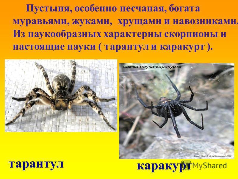 Пустыня, особенно песчаная, богата муравьями, жуками, хрущами и навозниками. Из паукообразных характерны скорпионы и настоящие пауки ( тарантул и каракурт ). каракурт тарантул