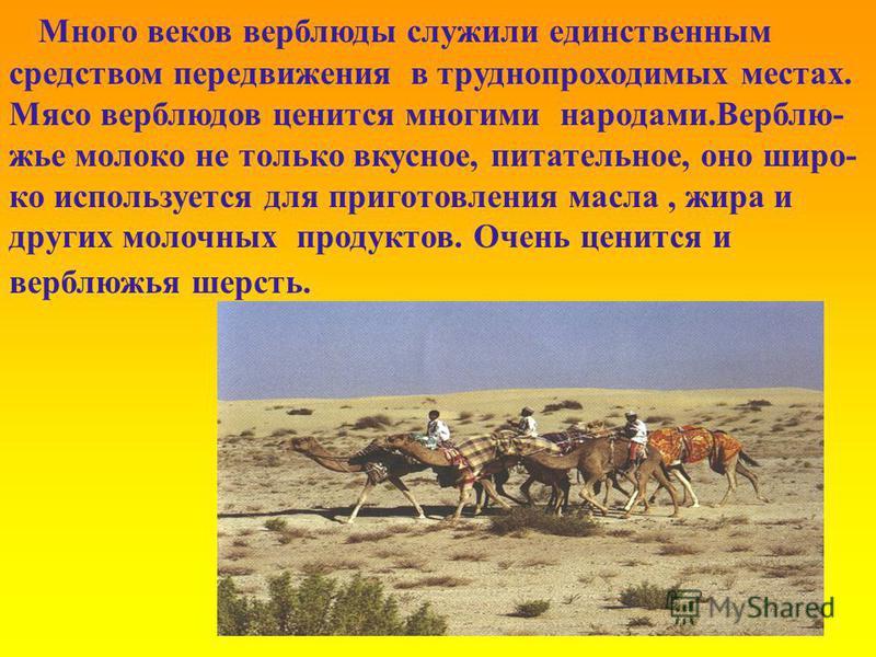 Много веков верблюды служили единственным средством передвижения в труднопроходимых местах. Мясо верблюдов ценится многими народами.Верблю- жье молоко не только вкусное, питательное, оно широко используется для приготовления масла, жира и других моло