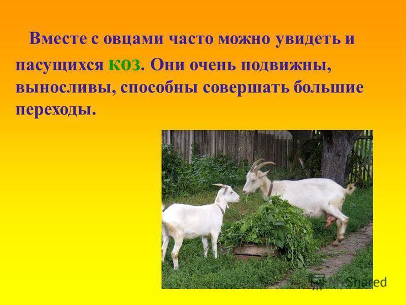 Вместе с овцами часто можно увидеть и пасущихся коз. Они очень подвижны, выносливы, способны совершать большие переходы.