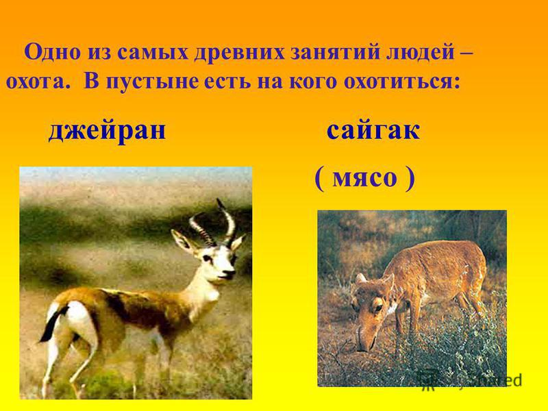 Одно из самых древних занятий людей – охота. В пустыне есть на кого охотиться: джейран сайгак ( мясо )