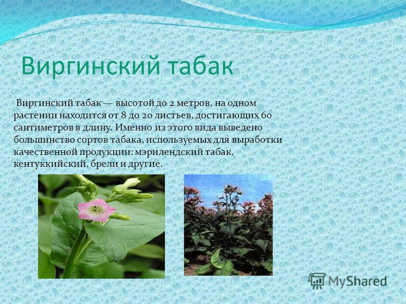 Виргинский табак Виргинский табак высотой до 2 метров, на одном растении находится от 8 до 20 листьев, достигающих 60 сантиметров в длину. Именно из этого вида выведено большинство сортов табака, используемых для выработки качественной продукции: мэр