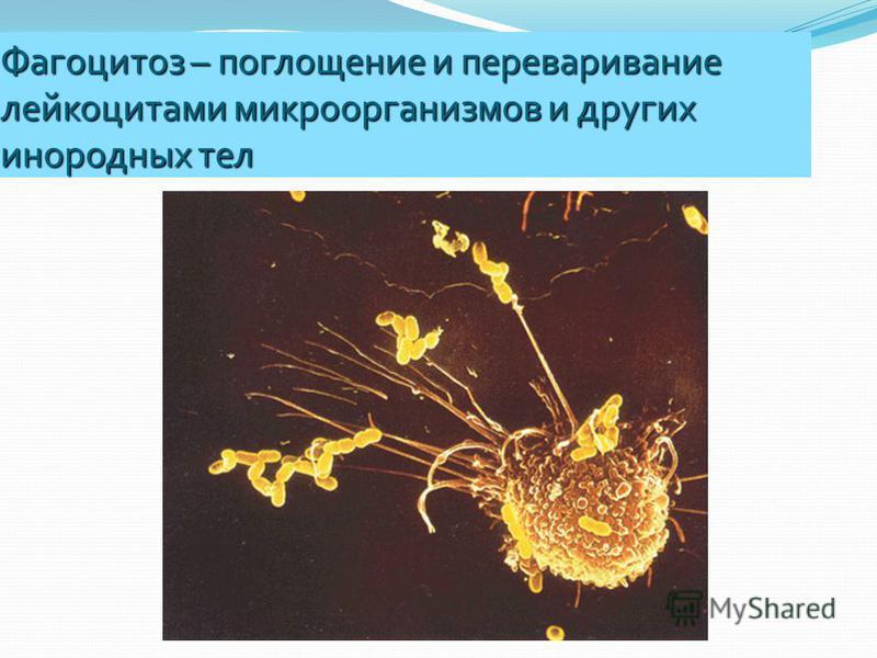 Фагоцитоз – поглощение и переваривание лейкоцитами микроорганизмов и других инородных тел
