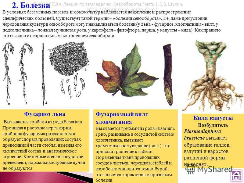 2. Болезни http://zemledelie.jimdo.com/ © 2012 ЯГСХА. Лекции по земледелию. Севообороты. Часть 1. С.В. Щукин. В условиях бессменных посевов и монокультур наблюдается накопление и распространение специфических болезней. Существует такой термин – «боле