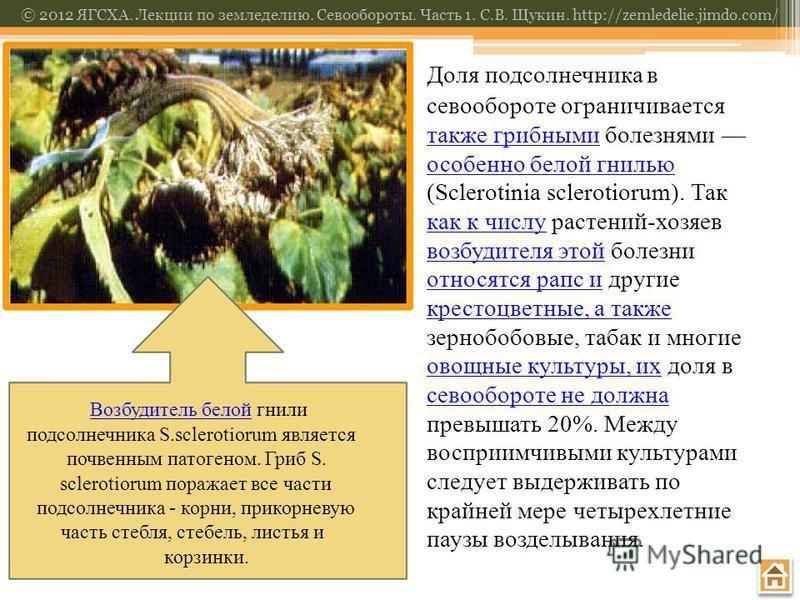 © 2012 ЯГСХА. Лекции по земледелию. Севообороты. Часть 1. С.В. Щукин. http://zemledelie.jimdo.com/ Возбудитель белой Возбудитель белой гнили подсолнечника S.sclerotiorum является почвенным патогеном. Гриб S. sclerotiorum поражает все части подсолнечн