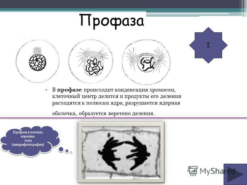В профазе происходит конденсация хромосом, клеточный центр делится и продукты его деления расходятся к полюсам ядра, разрушается ядерная оболочка, образуется веретено деления. I Профаза Профаза в клетках корешка лука (микрофотография) Профаза в клетк