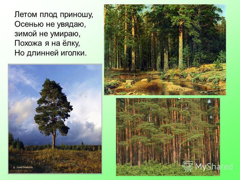 Летом плод приношу, Осенью не увядаю, зимой не умираю, Похожа я на ёлку, Но длинней иголки.