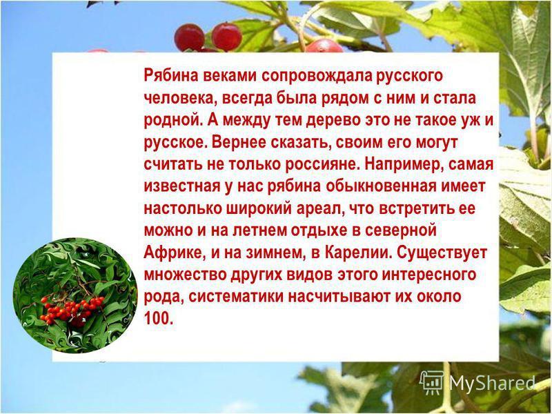 Рябина веками сопровождала русского человека, всегда была рядом с ним и стала родной. А между тем дерево это не такое уж и русское. Вернее сказать, своим его могут считать не только россияне. Например, самая известная у нас рябина обыкновенная имеет