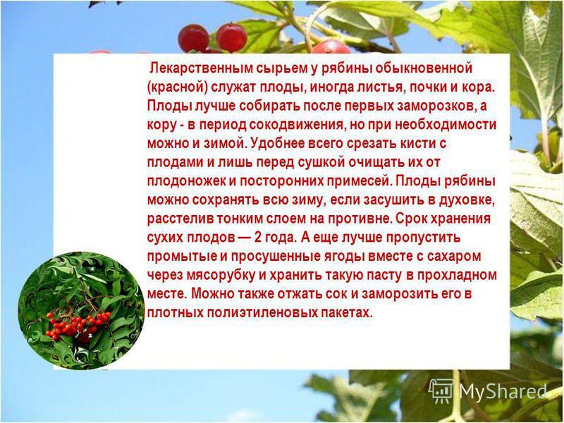 Лекарственным сырьем у рябины обыкновенной (красной) служат плоды, иногда листья, почки и кора. Плоды лучше собирать после первых заморозков, а кору - в период сокодвижения, но при необходимости можно и зимой. Удобнее всего срезать кисти с плодами и