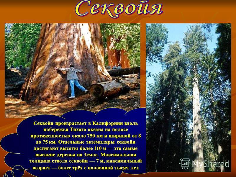Секвойя произрастает в Калифорнии вдоль побережья Тихого океана на полосе протяженностью около 750 км и шириной от 8 до 75 км. Отдельные экземпляры секвойи достигают высоты более 110 м это самые высокие деревья на Земле. Максимальная толщина ствола с