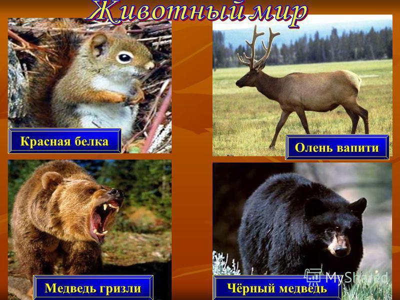 Медведь гризли Красная белка Олень вапити Чёрный медведь
