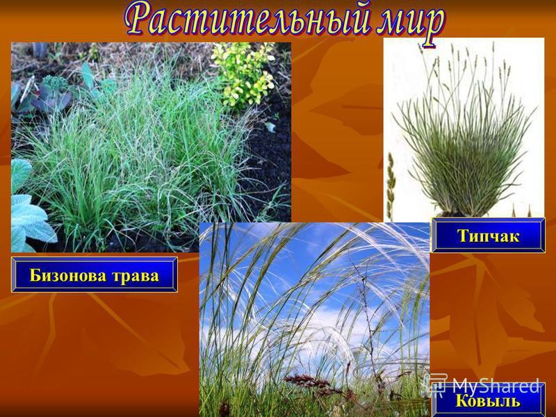 Бизонова трава Типчак Ковыль
