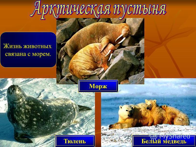 Морж Белый медведь Тюлень Жизнь животных связана с морем.