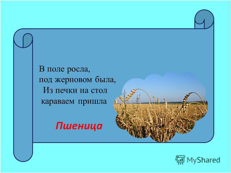В поле росла, под жерновом была, Из печки на стол караваем пришла Пшеница