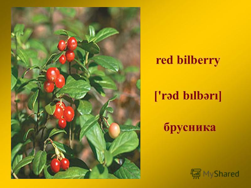 red bilberry брусника ['rәd bılbәrı]