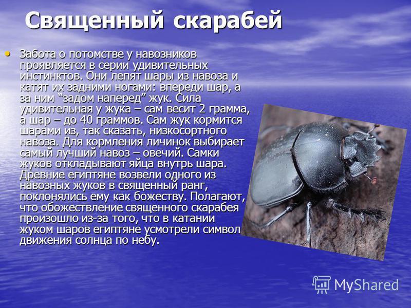 Священный скарабей Забота о потомстве у навозников проявляется в серии удивительных инстинктов. Они лепят шары из навоза и катят их задними ногами: впереди шар, а за ним задом наперед жук. Сила удивительная у жука – сам весит 2 грамма, а шар – до 40
