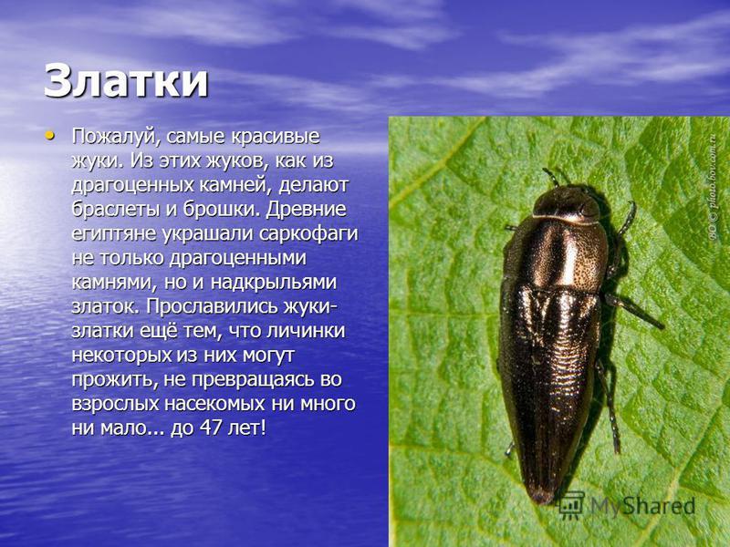 Златки Пожалуй, самые красивые жуки. Из этих жуков, как из драгоценных камней, делают браслеты и брошки. Древние египтяне украшали саркофаги не только драгоценными камнями, но и надкрыльями златок. Прославились жуки- златки ещё тем, что личинки некот