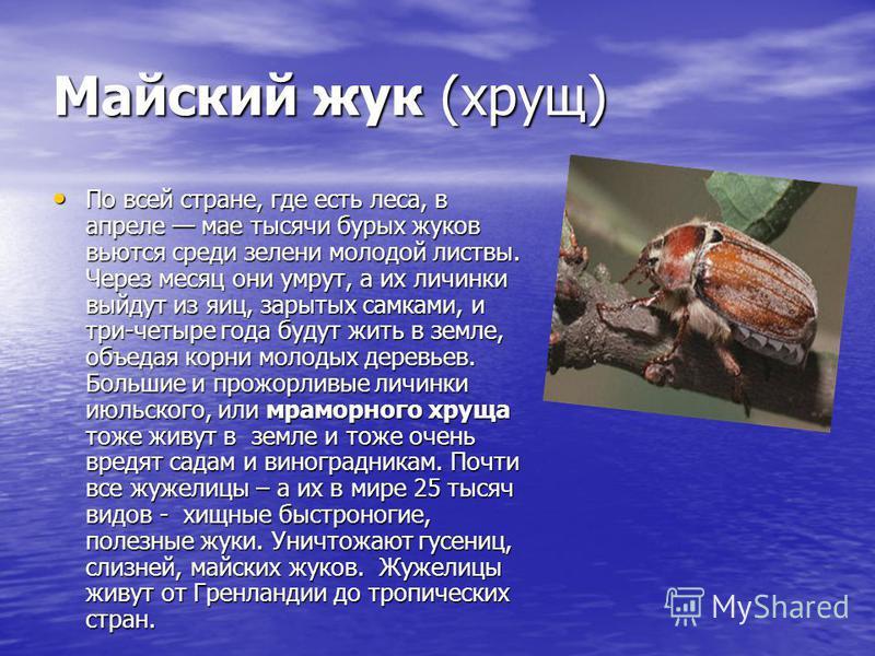 Майский жук (хрущ) По всей стране, где есть леса, в апреле мае тысячи бурых жуков вьются среди зелени молодой листвы. Через месяц они умрут, а их личинки выйдут из яиц, зарытых самками, и три-четыре года будут жить в земле, объедая корни молодых дер