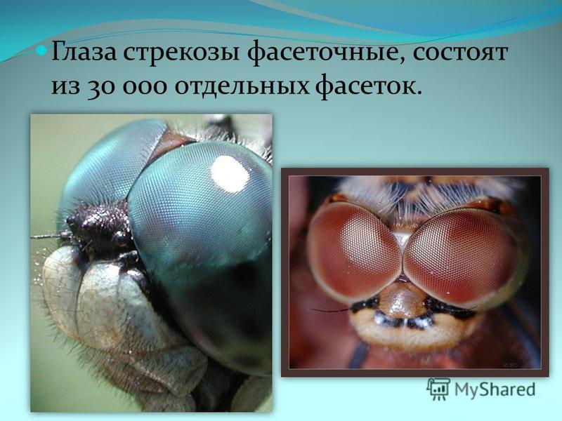 Глаза стрекозы фасеточные, состоят из 30 000 отдельных фасеток.