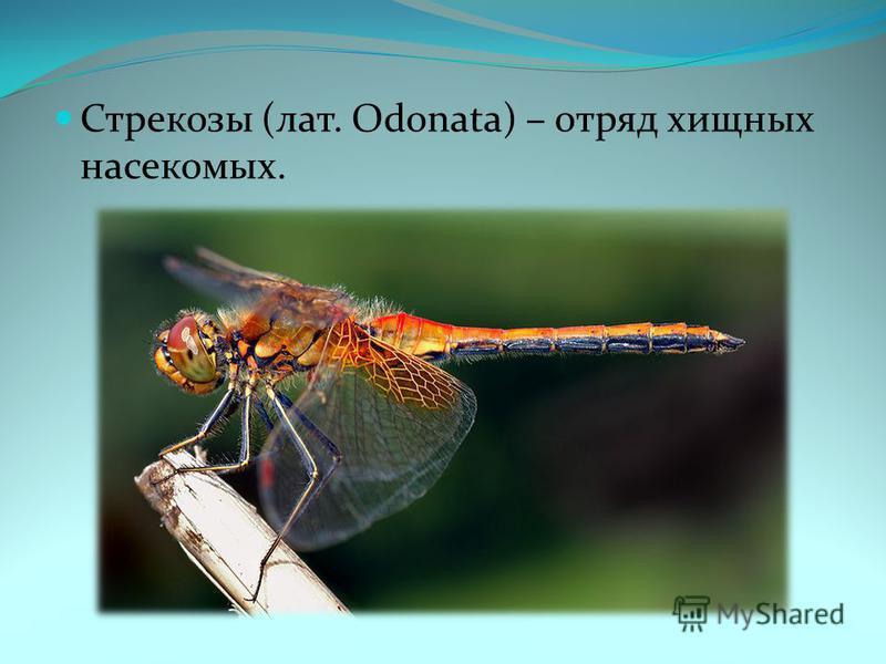 Стрекозы (лат. Odonata) – отряд хищных насекомых.