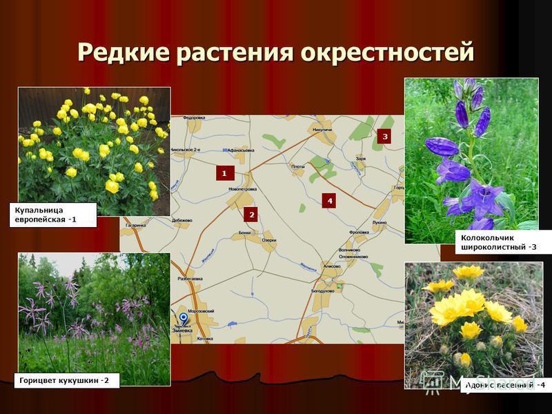 Редкие растения окрестностей 1 2 3 4 Купальница европейская -1 Горицвет кукушкин -2 Колокольчик широколистный -3 Адонис весенний -4