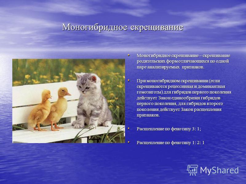 Моногибридное скрещивание Моногибридное скрещивание – скрещивание родительских форм отличающихся по одной паре анализируемых признаков. При моногибридном скрещивании (если скрещиваются рецессивная и доминантная гомозиготы) для гибридов первого поколе