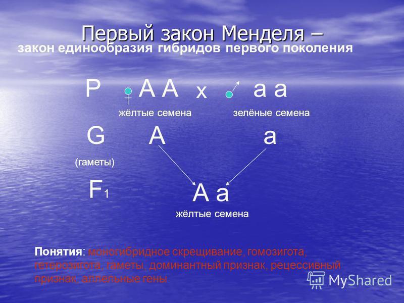 Первый закон Менделя – РА а х жёлтые семеназелёные семена G (гаметы) Аа F1F1 А а жёлтые семена Понятия: моногибридное скрещивание, гомозигота, гетерозигота, гаметы, доминантный признак, рецессивный признак, аллельные гены закон единообразия гибридов
