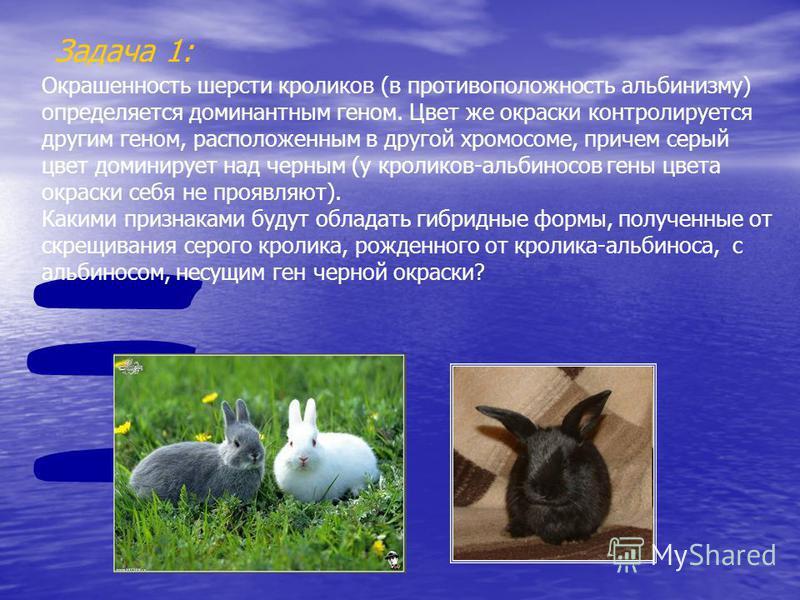 Задача 1: Окрашенность шерсти кроликов (в противоположность альбинизму) определяется доминантным геном. Цвет же окраски контролируется другим геном, расположенным в другой хромосоме, причем серый цвет доминирует над черным (у кроликов-альбиносов гены