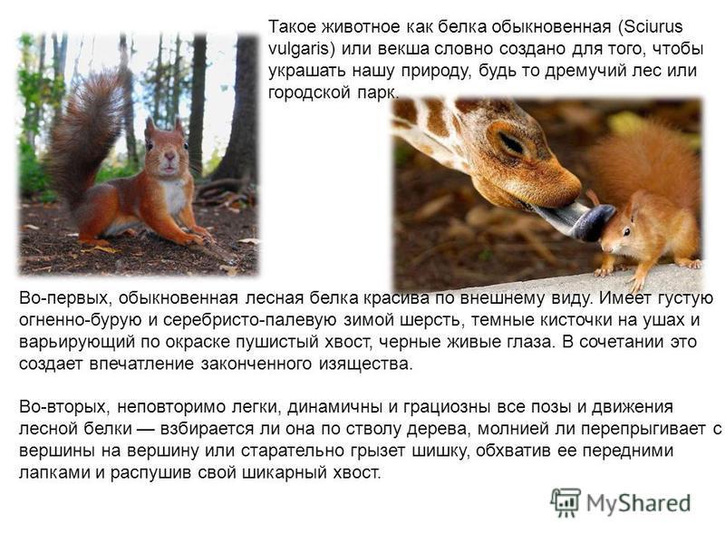 Такое животное как белка обыкновенная (Sciurus vulgaris) или векша словно создано для того, чтобы украшать нашу природу, будь то дремучий лес или городской парк. Во-первых, обыкновенная лесная белка красива по внешнему виду. Имеет густую огненно-буру