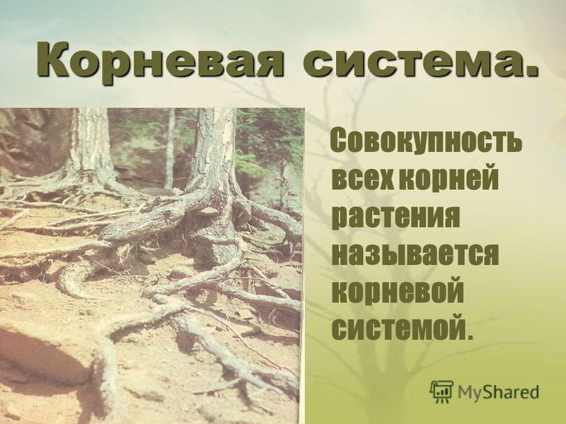 Корневая система. Совокупность всех корней растения называется корневой системой.