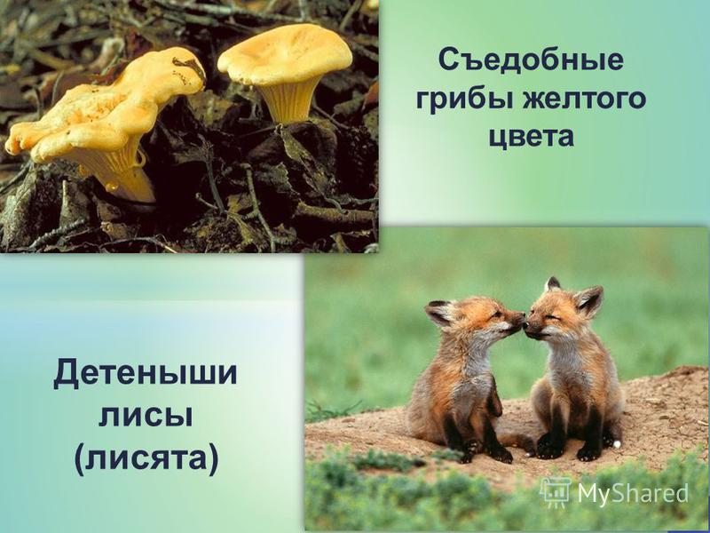 Съедобные грибы желтого цвета Детеныши лисы (лисята)