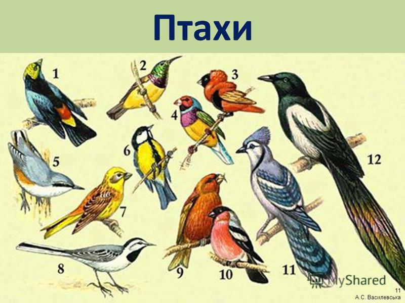 Птахи 11 А.С. Василевська