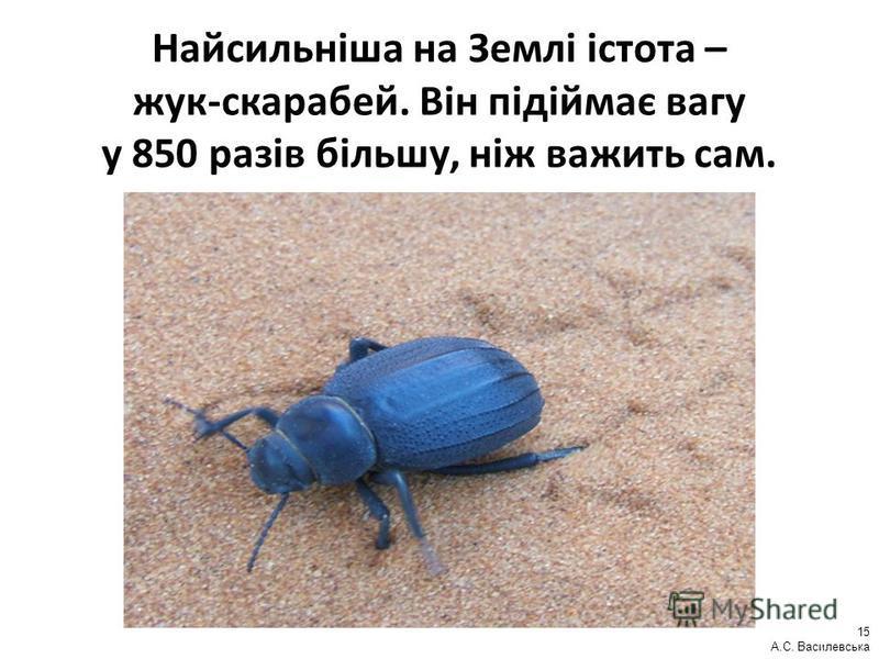 Найсильніша на Землі істота – жук-скарабей. Він підіймає вагу у 850 разів більшу, ніж важить сам. 15 А.С. Василевська