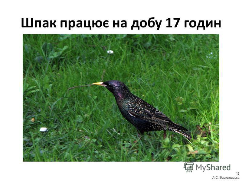 Шпак працює на добу 17 годин 16 А.С. Василевська