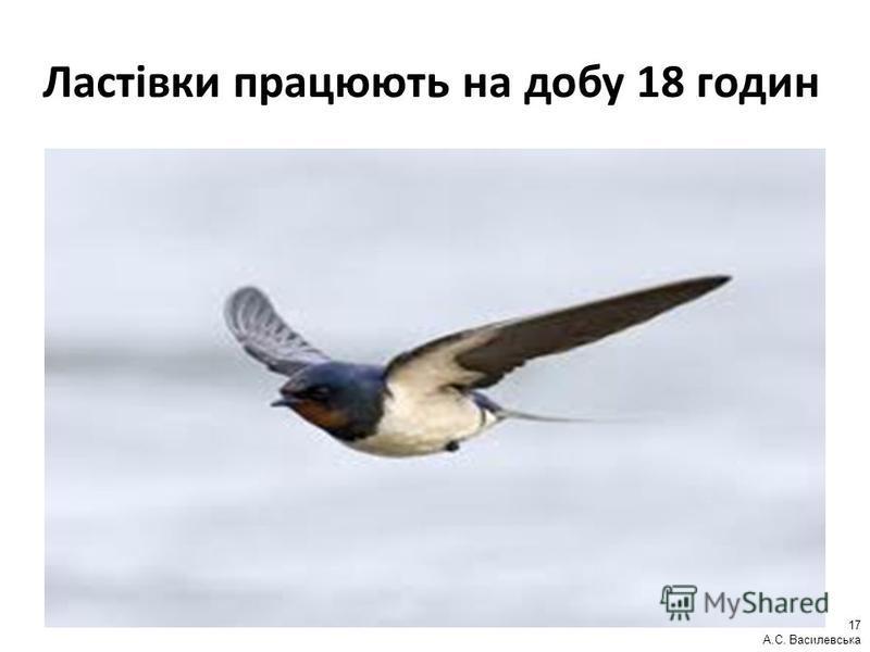 Ластівки працюють на добу 18 годин 17 А.С. Василевська