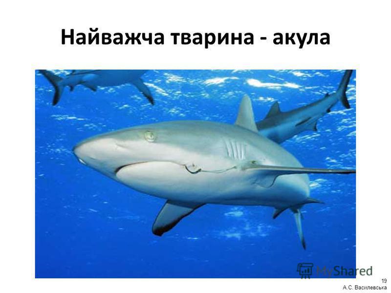 Найважча тварина - акула 19 А.С. Василевська