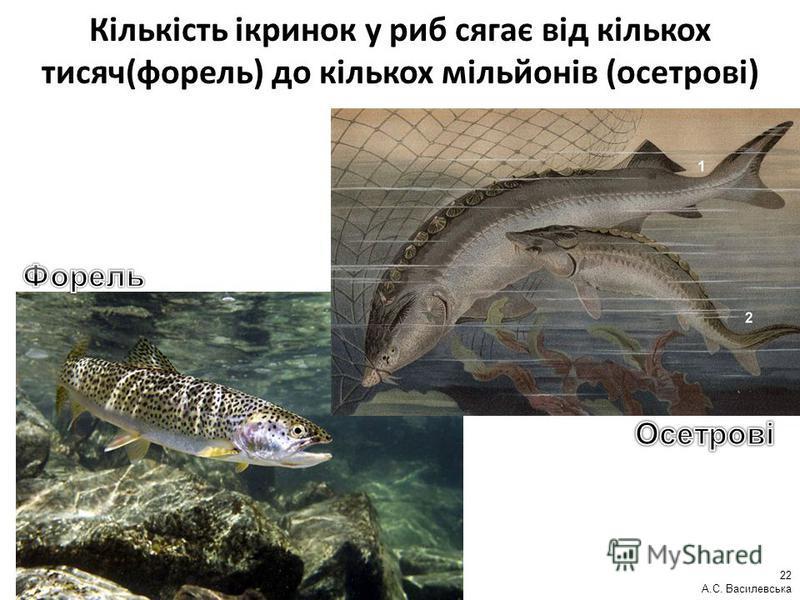Кількість ікринок у риб сягає від кількох тисяч(форель) до кількох мільйонів (осетрові) 22 А.С. Василевська