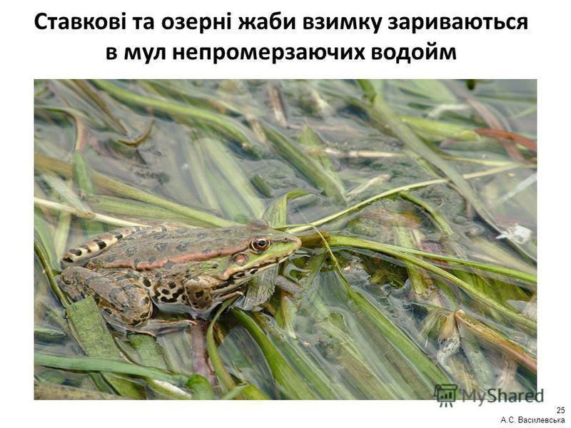 Ставкові та озерні жаби взимку зариваються в мул непромерзаючих водойм 25 А.С. Василевська