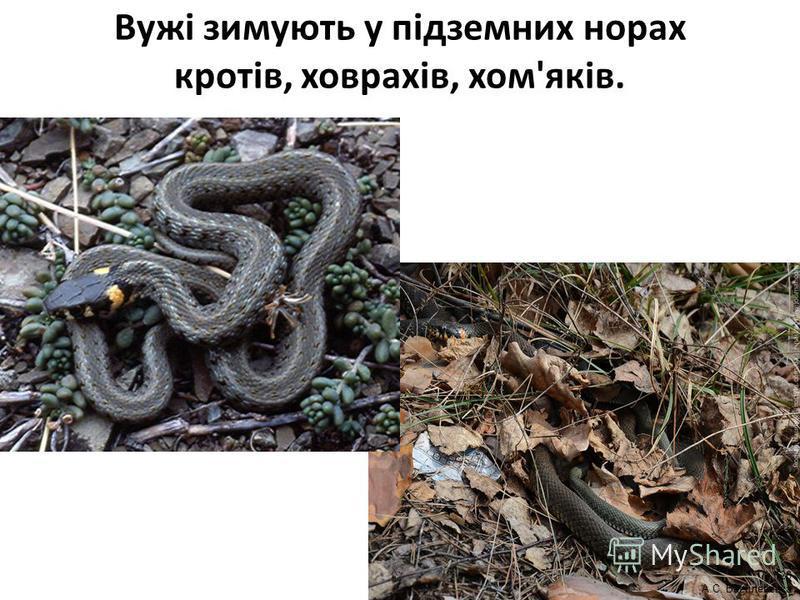 Вужі зимують у підземних норах кротів, ховрахів, хом'яків. 26 А.С. Василевська
