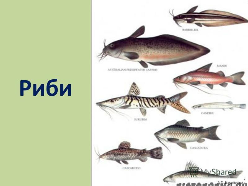 Риби 8 А.С. Василевська