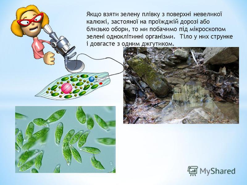 Якщо взяти зелену плівку з поверхні невеликої калюжі, застояної на проїжджій дорозі або близько обори, то ми побачимо під мікроскопом зелені одноклітинні організми. Тіло у них струнке і довгасте з одним джгутиком.