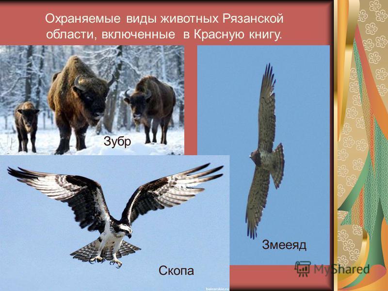 Охраняемые виды животных Рязанской области, включенные в Красную книгу. Скопа Змееяд Зубр