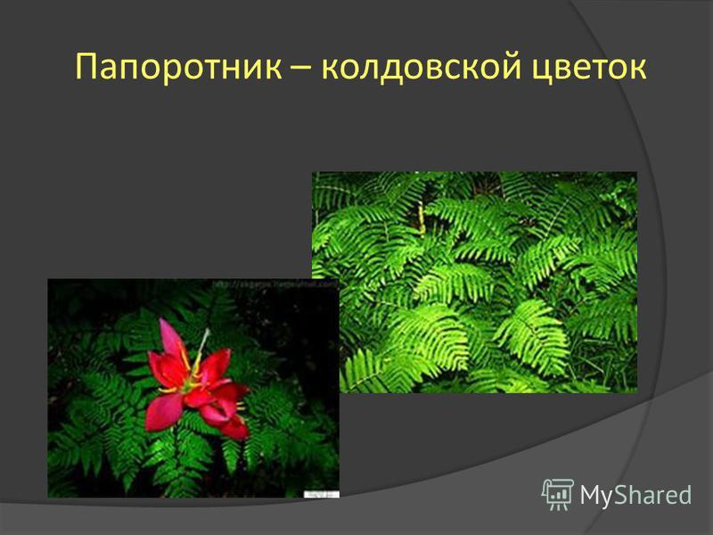 Папоротник – колдовской цветок