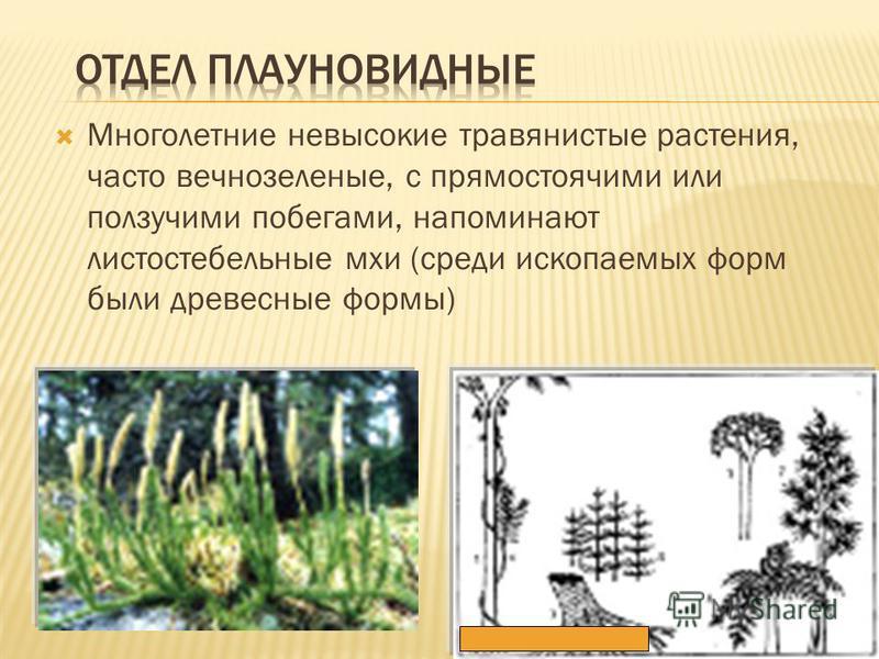 Многолетние невысокие травянистые растения, часто вечнозеленые, с прямостоячими или ползучими побегами, напоминают листостебельные мхи (среди ископаемых форм были древесные формы)