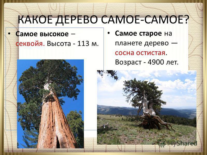 КАКОЕ ДЕРЕВО САМОЕ-САМОЕ? Самое высокое – секвойя. Высота - 113 м. Самое старое на планете дерево сосна остистая. Возраст - 4900 лет.