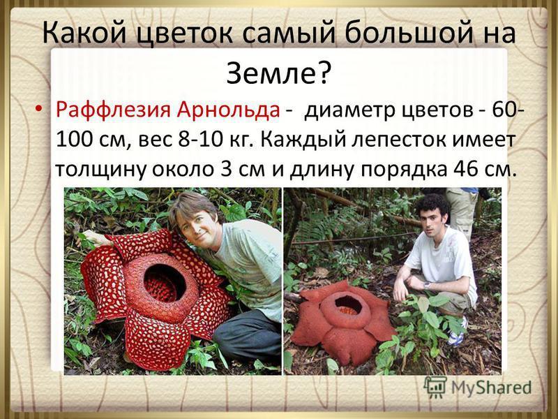 Какой цветок самый большой на Земле? Раффлезия Арнольда - диаметр цветов - 60- 100 см, вес 8-10 кг. Каждый лепесток имеет толщину около 3 см и длину порядка 46 см.