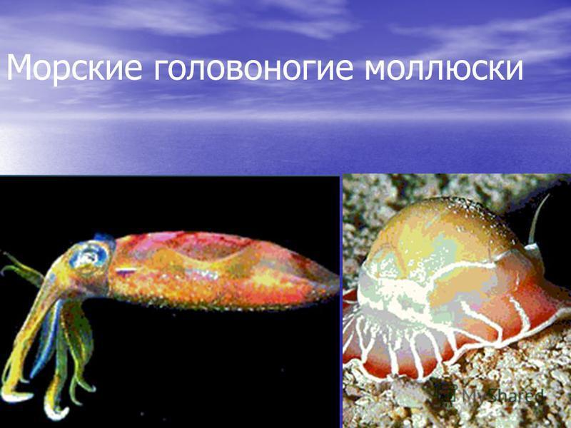 Морские головоногие моллюски
